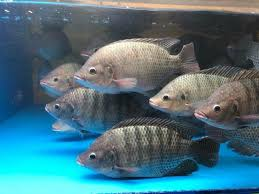 live tilapia for sale